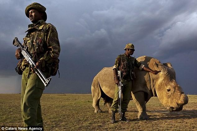 Vũ khí khủng bảo vệ 24/24 con tê giác trắng đực cuối cùng của Trái Đất - ảnh 1