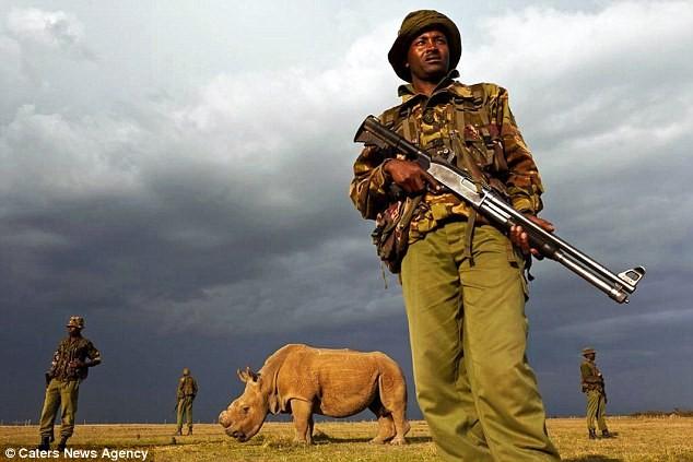 Vũ khí khủng bảo vệ 24/24 con tê giác trắng đực cuối cùng của Trái Đất - ảnh 2