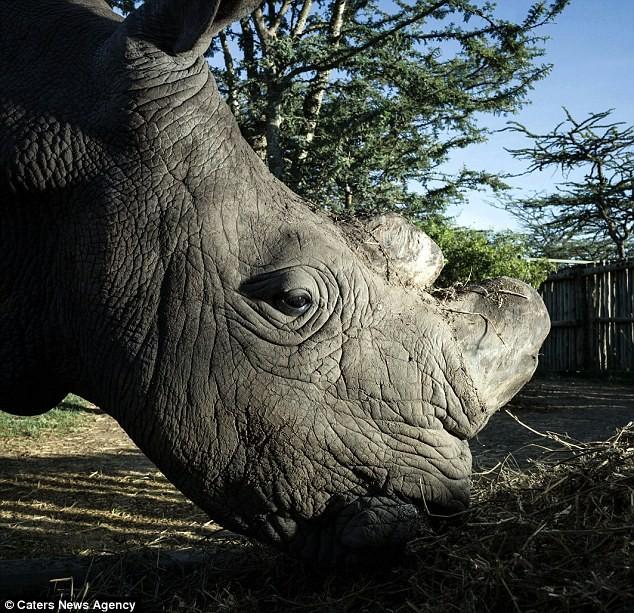Vũ khí khủng bảo vệ 24/24 con tê giác trắng đực cuối cùng của Trái Đất - ảnh 3