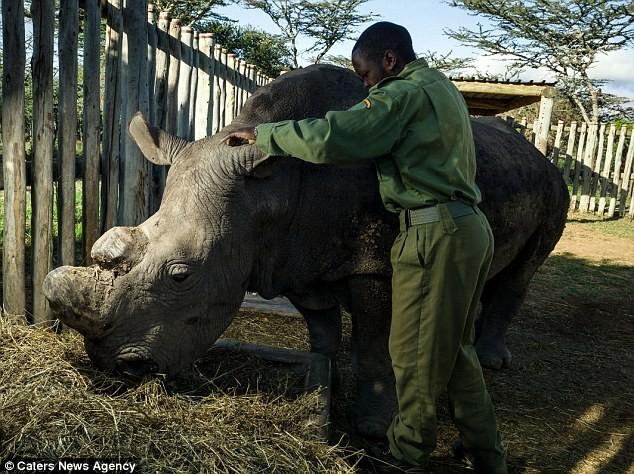 Vũ khí khủng bảo vệ 24/24 con tê giác trắng đực cuối cùng của Trái Đất - ảnh 4