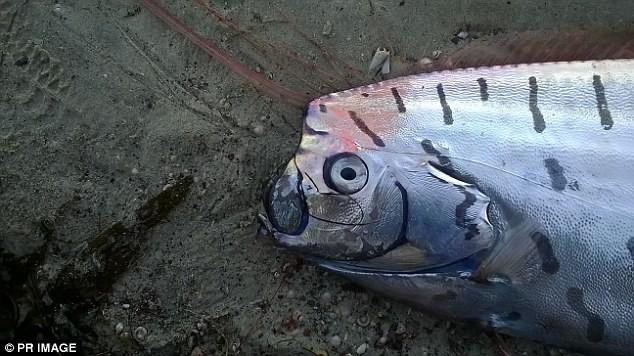 Phát hiện loài cá biển lạ dài 3 mét - ảnh 1