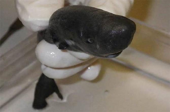 Phát hiện cá mập 'bỏ túi' tí hon - ảnh 1