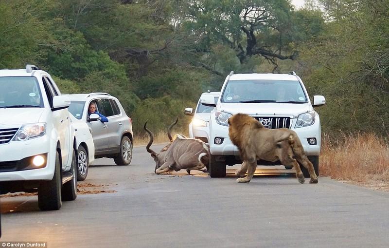 Màn săn mồi kinh hoàng của sư tử trên đường xe chạy  - ảnh 1