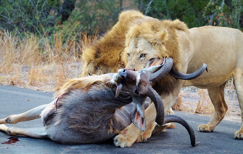 Màn săn mồi kinh hoàng của sư tử trên đường xe chạy  - ảnh 4