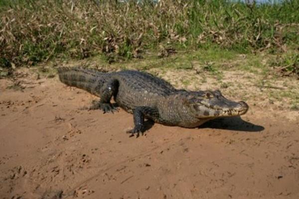 Thoát chết ngoạn mục khi bị cá sấu tấn công - ảnh 1