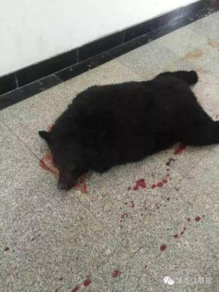 Cảnh sát bắn chết gấu đen xâm nhập một trường học - ảnh 2