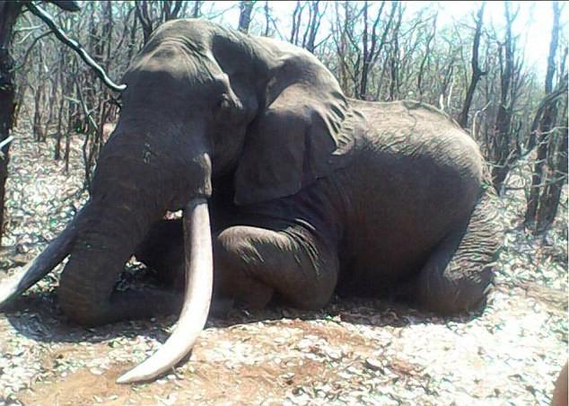 Trả 1,3 tỉ đồng để giết voi 'khổng lồ' - ảnh 1