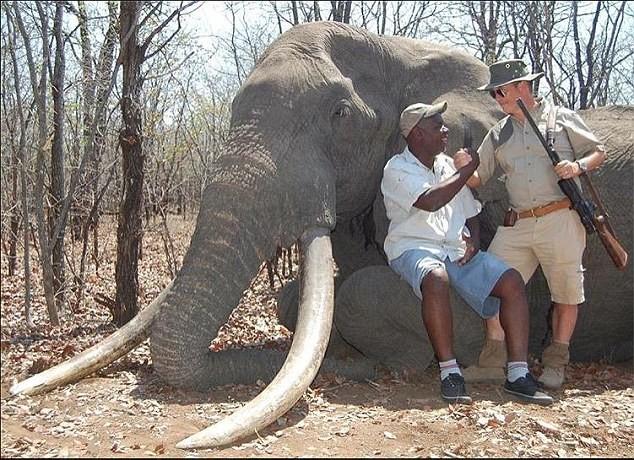 Trả 1,3 tỉ đồng để giết voi 'khổng lồ' - ảnh 2