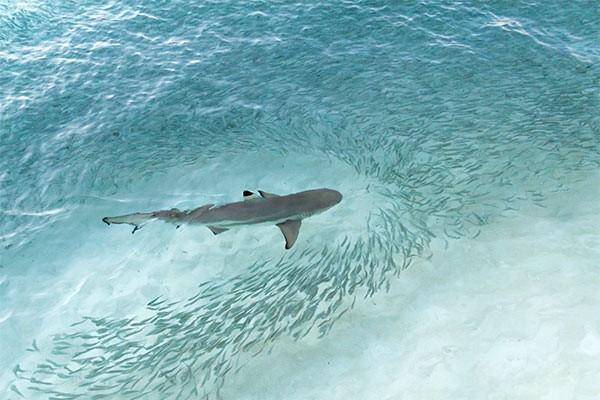 Cá mập: Kẻ săn mồi sắp hết thời? - ảnh 1