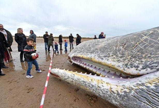 Ba cá voi 'chết chùm' cùng một bờ biển tại Anh - ảnh 2