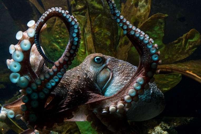 Bạch tuộc Inky 'đào thoát' khỏi bể cá New Zealand  - ảnh 1
