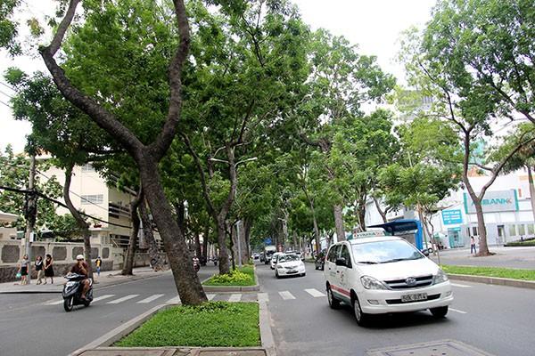 Ngắm hàng cây cổ thụ Sài Gòn trước giờ bị đốn hạ  - ảnh 8