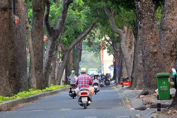 Ngắm hàng cây cổ thụ Sài Gòn trước giờ bị đốn hạ  - ảnh 1