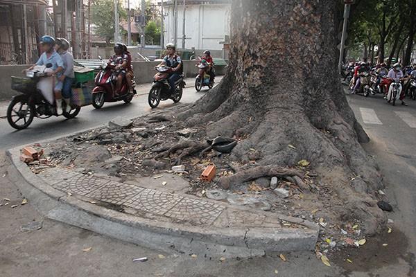 Ngắm hàng cây cổ thụ Sài Gòn trước giờ bị đốn hạ  - ảnh 6