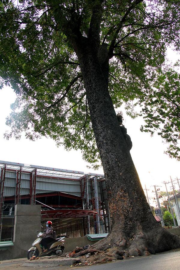 Ngắm hàng cây cổ thụ Sài Gòn trước giờ bị đốn hạ  - ảnh 12