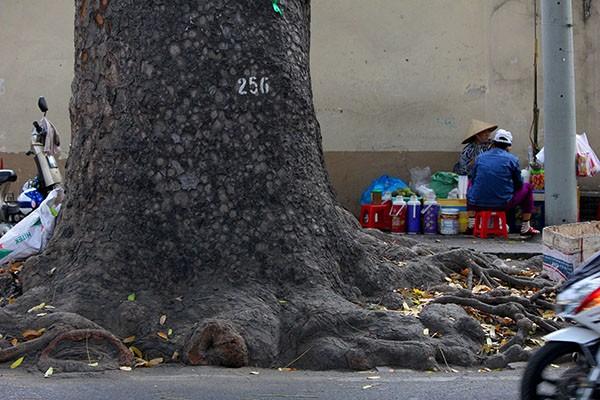 Ngắm hàng cây cổ thụ Sài Gòn trước giờ bị đốn hạ  - ảnh 7