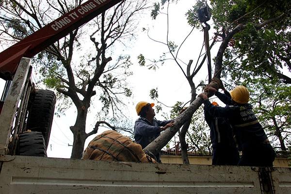 Bứng dưỡng 14 cây sọ khỉ trên đường Tôn Đức Thắng - ảnh 11