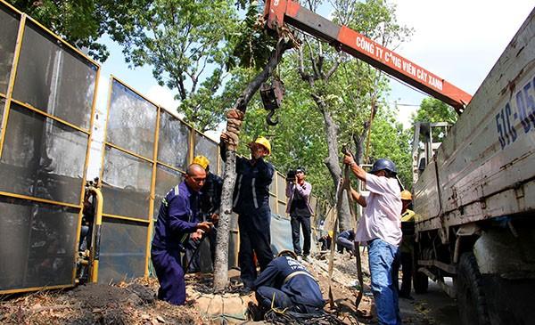 Bứng dưỡng 14 cây sọ khỉ trên đường Tôn Đức Thắng - ảnh 1