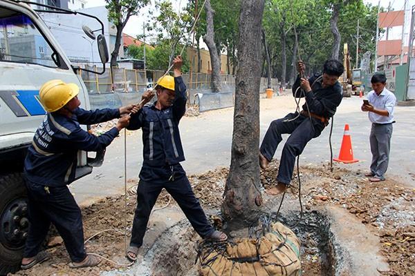 Bứng dưỡng 14 cây sọ khỉ trên đường Tôn Đức Thắng - ảnh 7