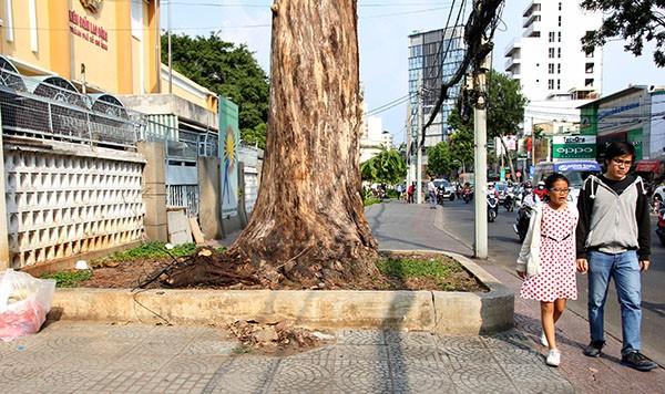 """Hàng loạt cây xanh ở TP.HCM """"chết đứng"""" - ảnh 9"""