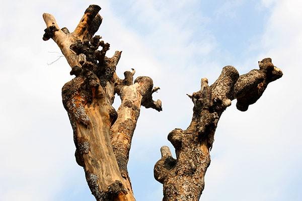 """Hàng loạt cây xanh ở TP.HCM """"chết đứng"""" - ảnh 11"""