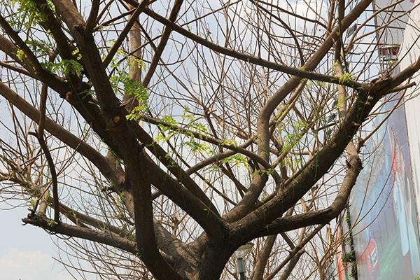 """Hàng loạt cây xanh ở TP.HCM """"chết đứng"""" - ảnh 7"""