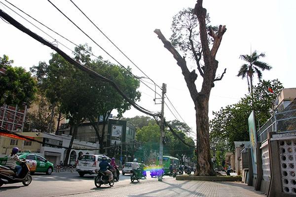 """Hàng loạt cây xanh ở TP.HCM """"chết đứng"""" - ảnh 8"""