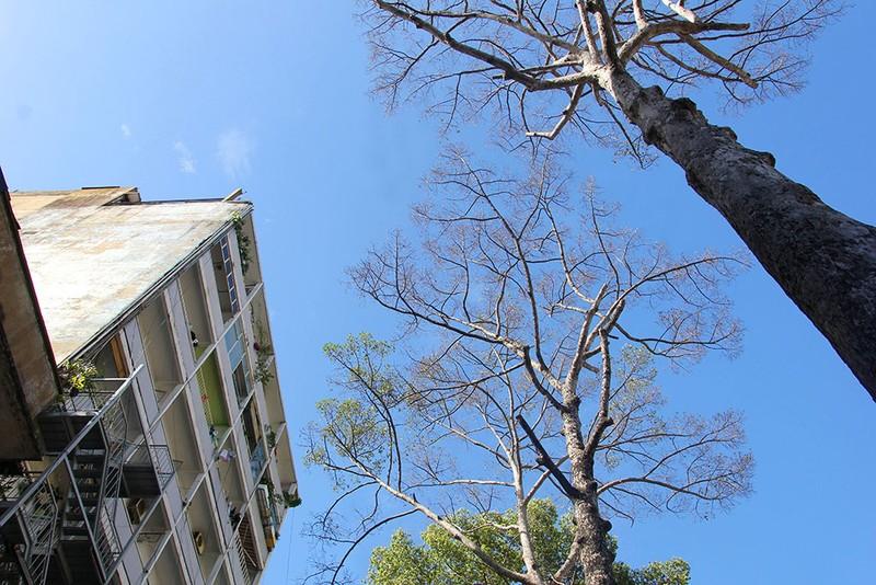 TP.HCM: 3 cây dầu trăm tuổi bỗng nhiên khô lá rồi chết bất thường - ảnh 3