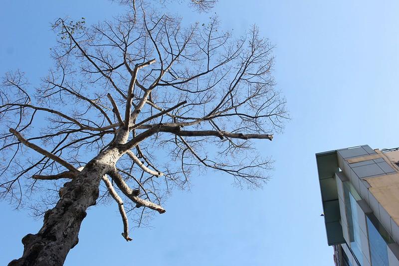 TP.HCM: 3 cây dầu trăm tuổi bỗng nhiên khô lá rồi chết bất thường - ảnh 4