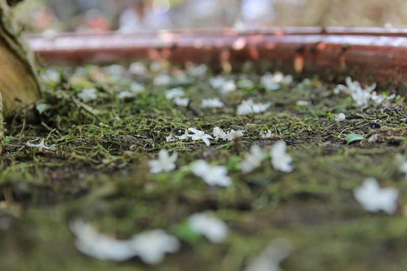 Ngắm 'cụ' mai vàng ra giá 2,7 tỉ đồng ở chợ hoa xuân - ảnh 11