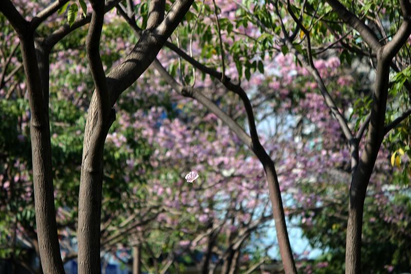 Ngất ngây với hoa kèn bên hầm Thủ Thiêm - ảnh 16