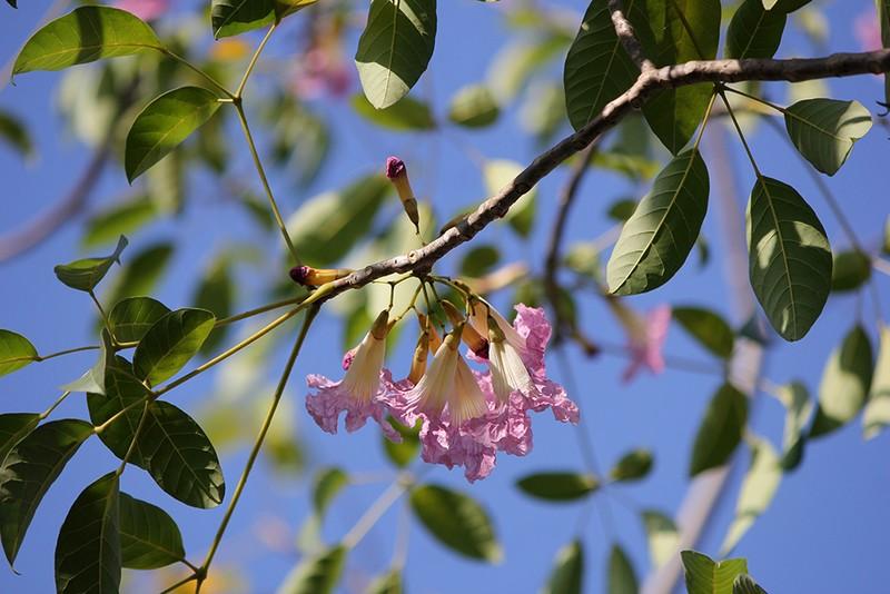 Ngất ngây với hoa kèn bên hầm Thủ Thiêm - ảnh 9