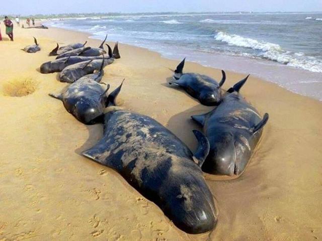 Hơn 120 con cá voi dạt vào bờ biển Ấn Độ - ảnh 1