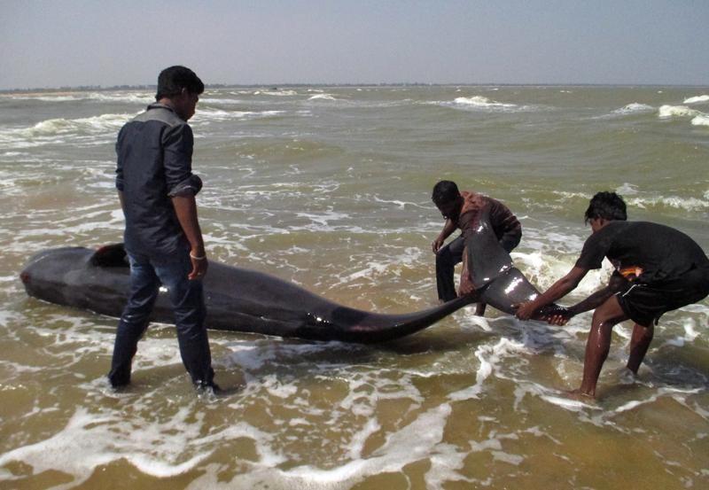 Hơn 120 con cá voi dạt vào bờ biển Ấn Độ - ảnh 2