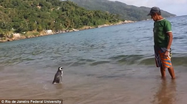 Chú chim cánh cụt bơi 8.000 km mỗi năm về thăm ân nhân - ảnh 1