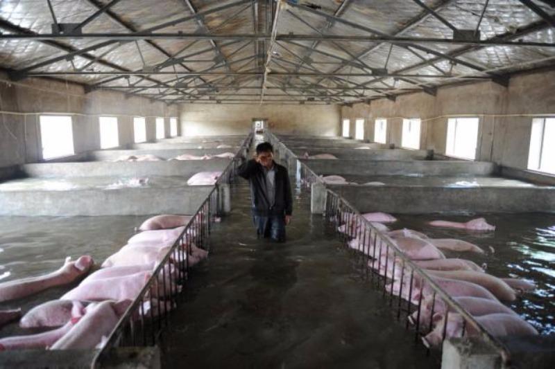 Một chủ trang trại ở tỉnh An Huy khóc vì không thể sơ tán heo ngày 4-7.