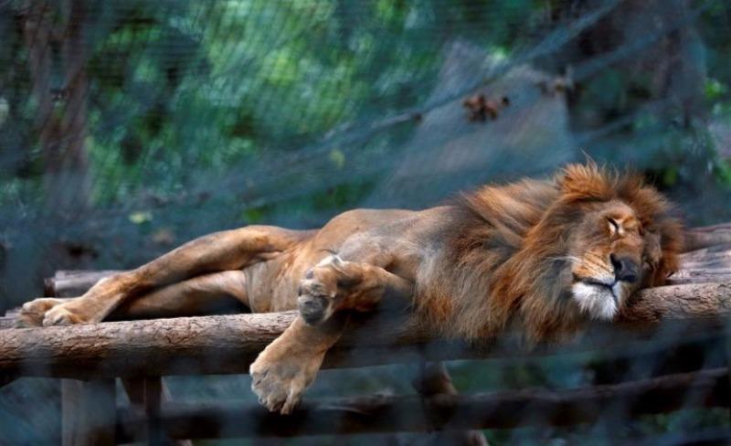 Một con sư tử ngủ trong chuồng tại vườn thú Caricuao ở Caracas (Venezuela).