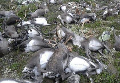 Hàng trăm con tuần lộc bị sét đánh chết trên cao nguyên Hardangervidda (Nauy).