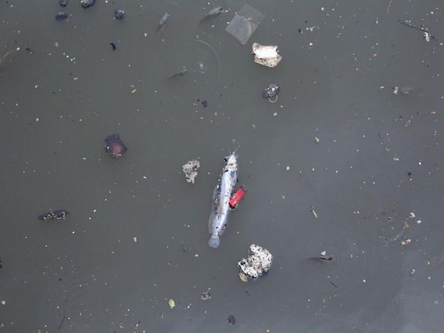 Những con cá rất lớn cũng bị chết - Ảnh: Hồng Trâm