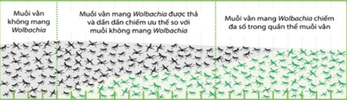 Việt Nam thả muỗi vằn phòng bệnh Sốt xuất huyết, Zika - ảnh 1