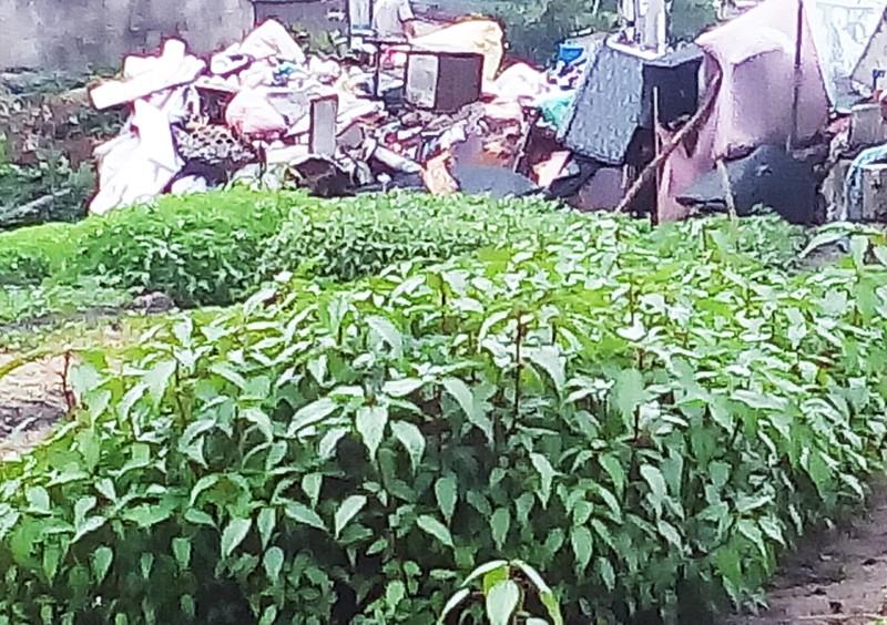 Rau đay cạnh bãi rác nhiễm vi khuẩn gây hại vượt mức - ảnh 1