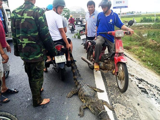 Bắt cá sấu nặng khoảng 30kg 'đi lạc' trên quốc lộ - ảnh 1