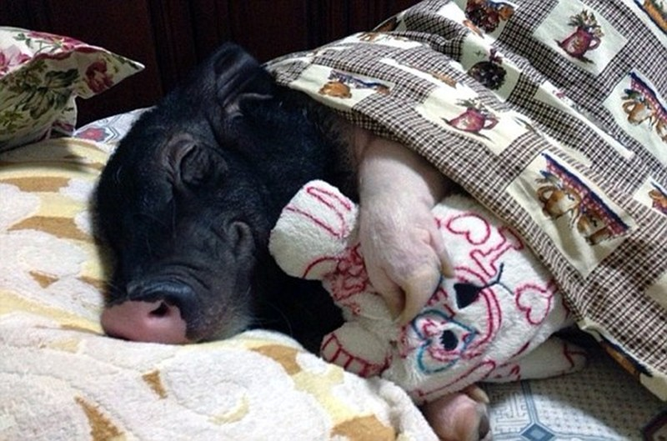 Chồng ghen tỵ vì vợ suốt ngày ăn ngủ với... lợn cưng - ảnh 4