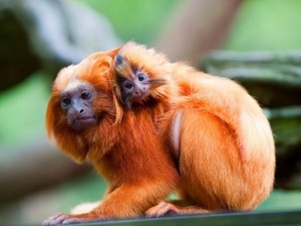 Trộm đột nhập vào sở thú bắt đi 17 con khỉ quý hiếm - ảnh 1