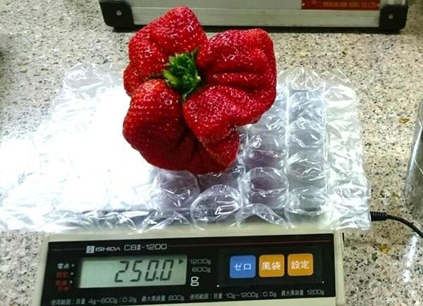Quả dâu tây đột biến 'khổng lồ' nặng 250gr ở Nhật - ảnh 2
