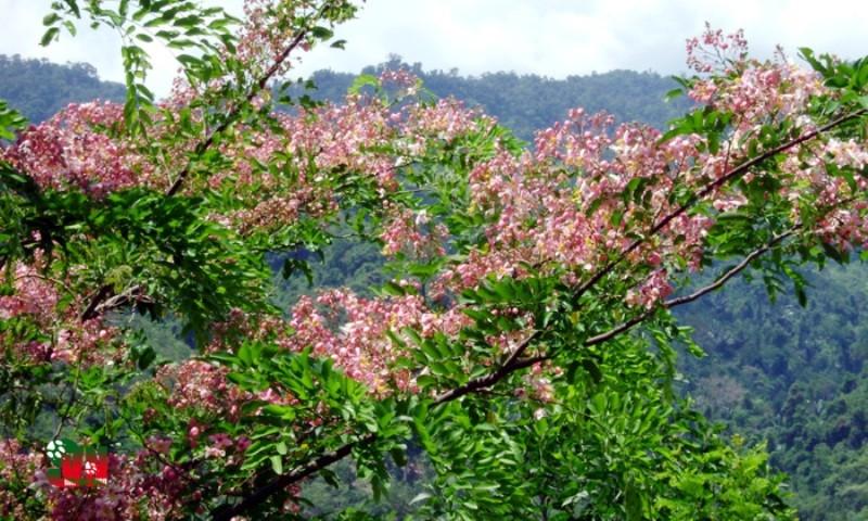 Chùm ảnh ngẩn ngơ hương sắc Muồng hoa đào - ảnh 4