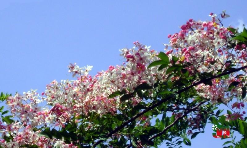 Chùm ảnh ngẩn ngơ hương sắc Muồng hoa đào - ảnh 5