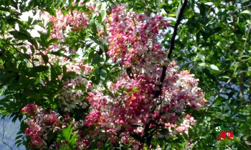 Chùm ảnh ngẩn ngơ hương sắc Muồng hoa đào - ảnh 6
