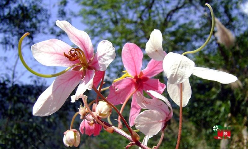 Chùm ảnh ngẩn ngơ hương sắc Muồng hoa đào - ảnh 2