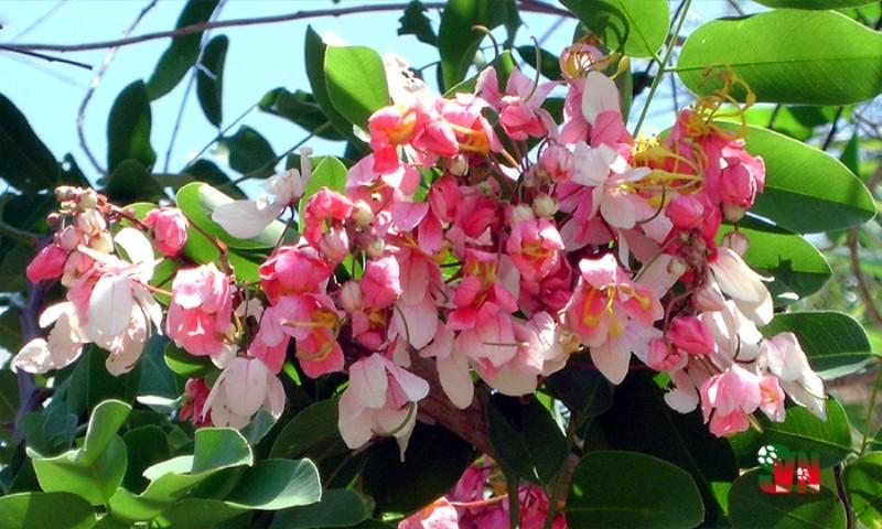 Chùm ảnh ngẩn ngơ hương sắc Muồng hoa đào - ảnh 7